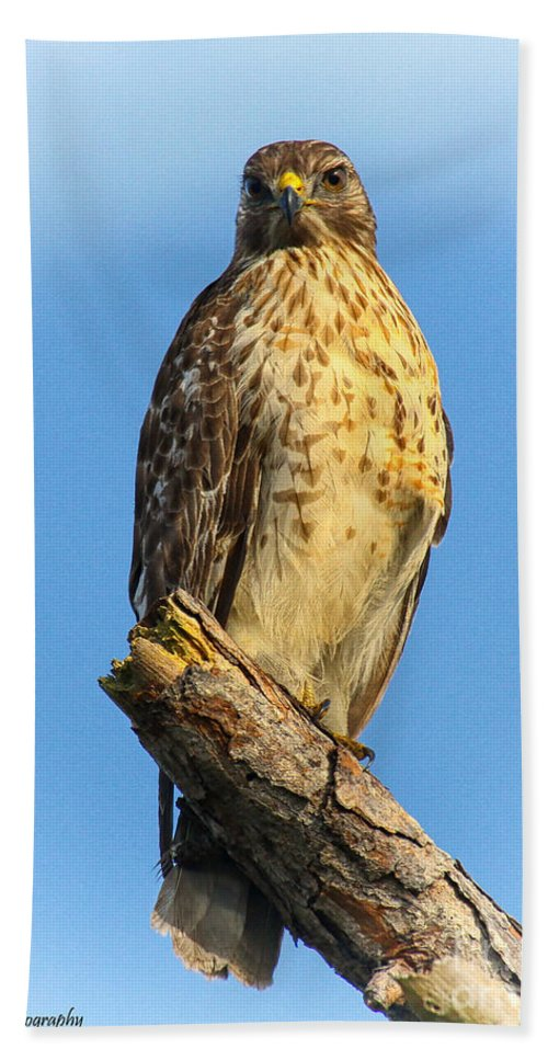Red-shouldered Hawk Hand Towel featuring the photograph Stately Red-shouldered Hawk by Barbara Bowen