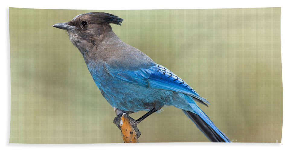 Fauna Hand Towel featuring the photograph Stellers Jay by Anthony Mercieca
