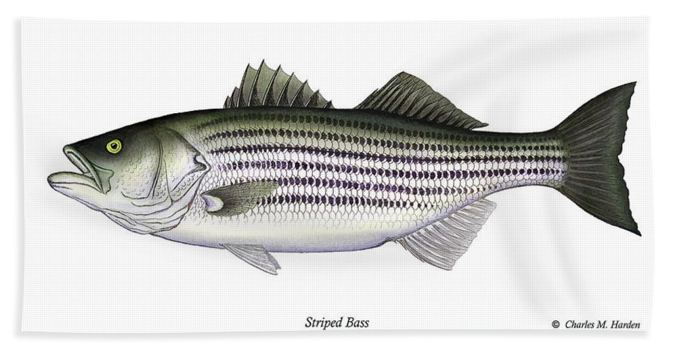 Striped Bass Art Hand Towel featuring the painting Striped Bass by Charles Harden
