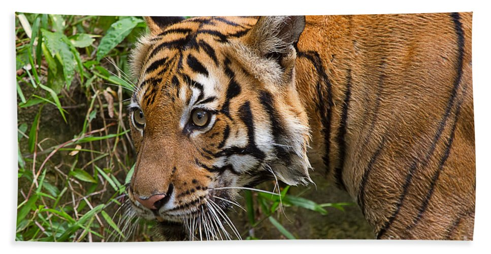 Animal Hand Towel featuring the photograph Sumatran Tiger by Louise Heusinkveld