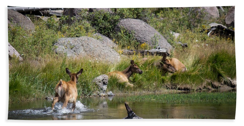 Elk Hand Towel featuring the photograph Summer Morning Dip - Elk In Yellowstone National Park - Wyoming by Diane Mintle