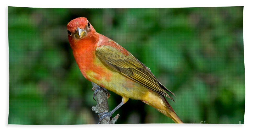 Fauna Hand Towel featuring the photograph Summer Tanager Changing Color by Anthony Mercieca