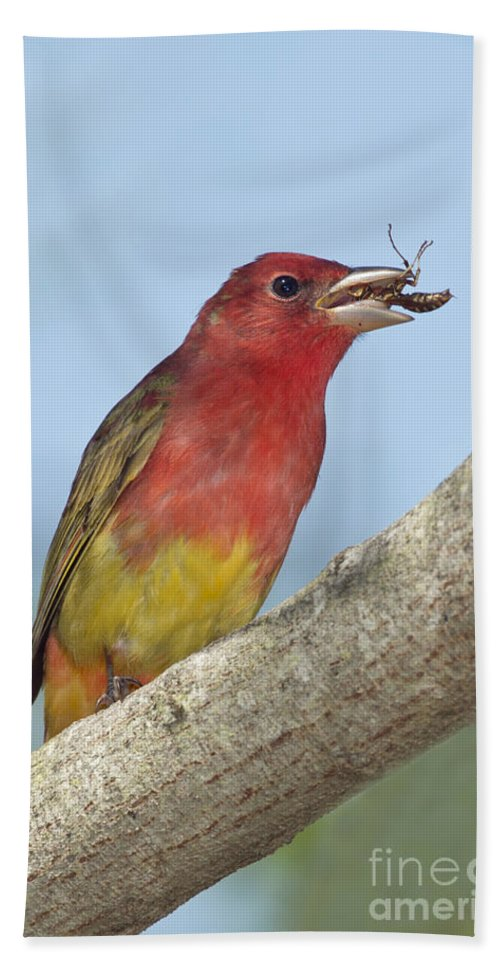 Summer Tanager Hand Towel featuring the photograph Summer Tanager Eating Wasp by Anthony Mercieca