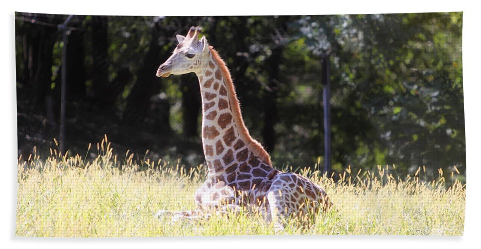 Giraffe Hand Towel featuring the photograph Sun Bathing by Rick Kuperberg Sr