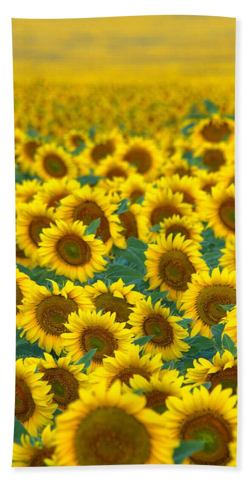 Sunflower Bath Sheet featuring the photograph Sunflower Explosion by Ronda Kimbrow