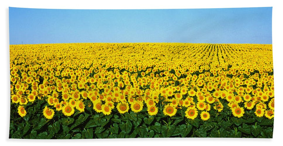 Photography Hand Towel featuring the photograph Sunflower Field, North Dakota, Usa by Panoramic Images