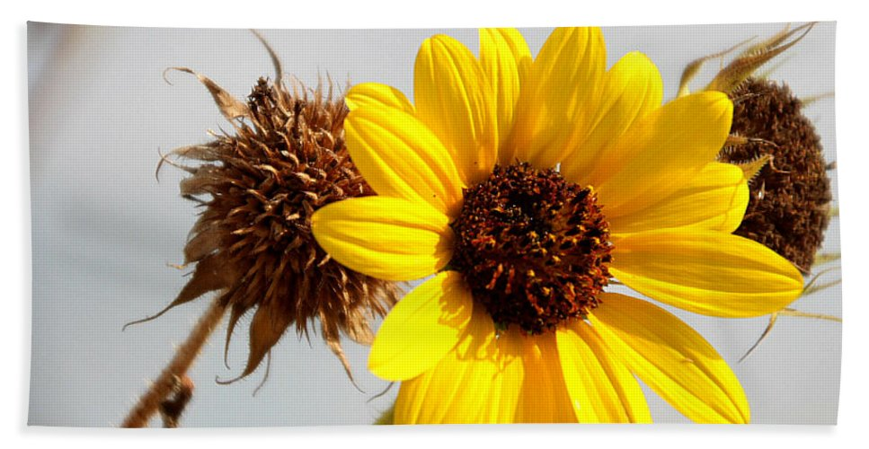 Sunflower Bath Sheet featuring the photograph Sunflower Stages by Amy Steeples