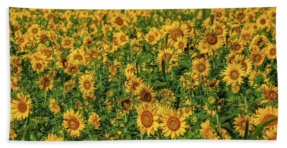 Photography Bath Sheet featuring the photograph Sunflowers Helianthus Annuus Growing by Panoramic Images