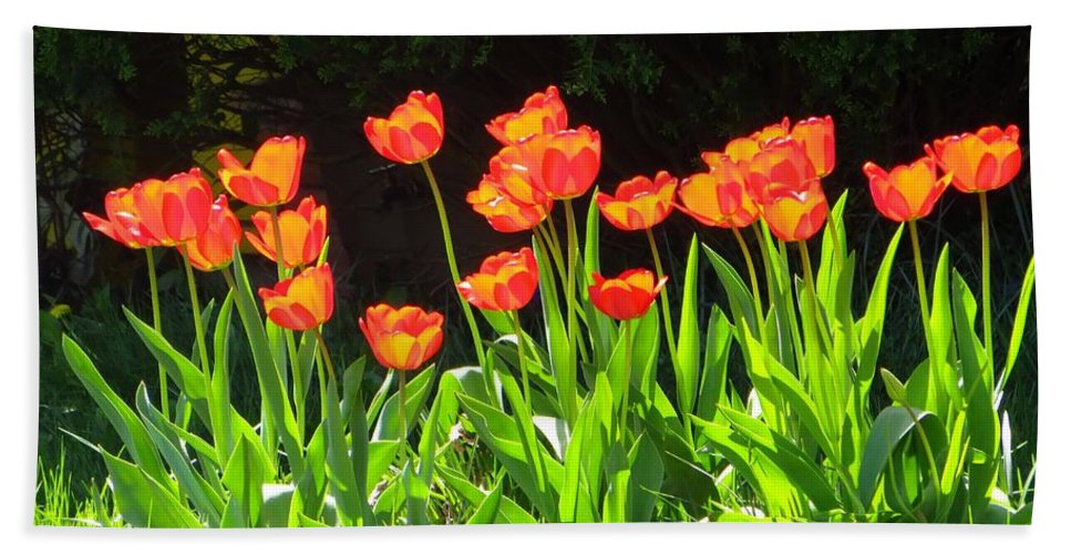 Tulip Garden Bath Sheet featuring the photograph Sunkissed Tulip Garden by Sonali Gangane