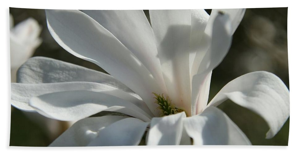 Magnolia Hand Towel featuring the photograph Sunlit White Magnolia by Christiane Schulze Art And Photography