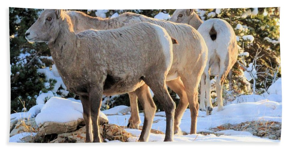 Big Horn Sheep Hand Towel featuring the photograph Sunrise Club by Adam Jewell