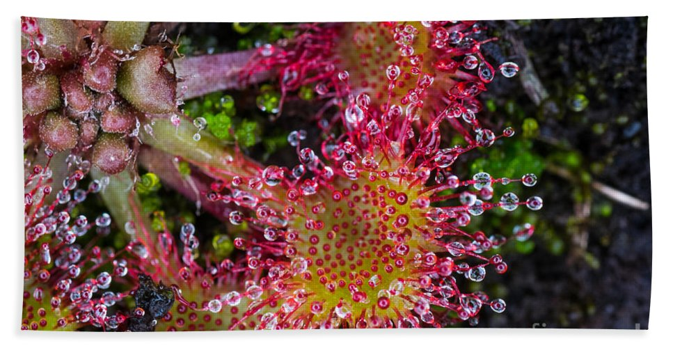 Close-up Hand Towel featuring the photograph Sundew by Brothers Beerens