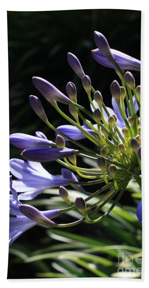 African Lily Hand Towel featuring the photograph Sunshine On Agapanthus by Carol Groenen