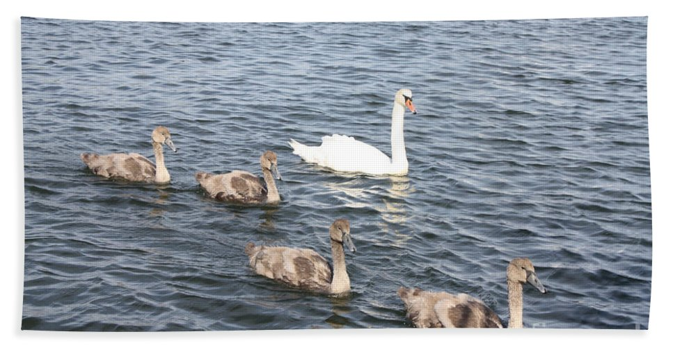 Swan And His Ducklings Bath Sheet featuring the photograph Swan And His Ducklings by John Telfer