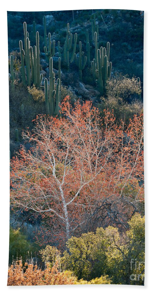 Nature Bath Sheet featuring the photograph Sycamore And Saguaro Cacti, Arizona by John Shaw
