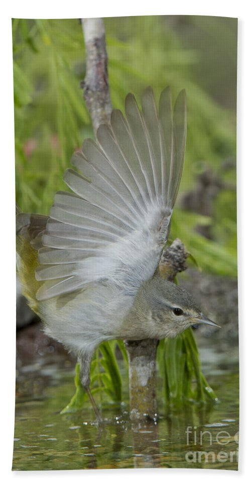 Tennessee Warbler Hand Towel featuring the photograph Tennessee Warbler by Anthony Mercieca