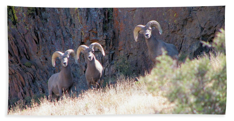 Bighorn Hand Towel featuring the photograph The 3 Amigos by Darcy Tate