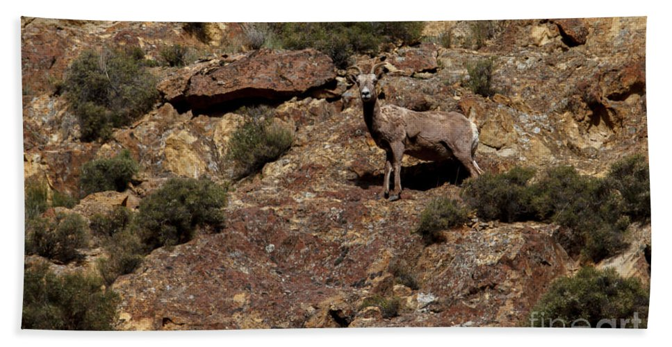 Sheep Hand Towel featuring the photograph The Bighorn Uwe by Robert Bales