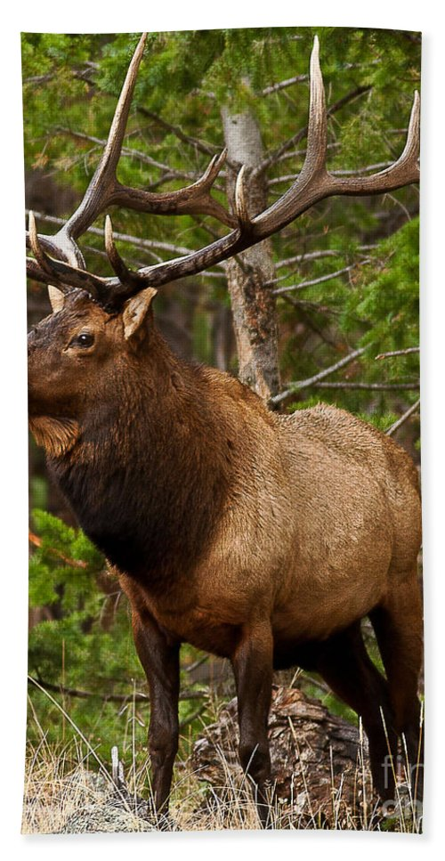 Landscape Bath Sheet featuring the photograph The Bull Elk by Steven Reed