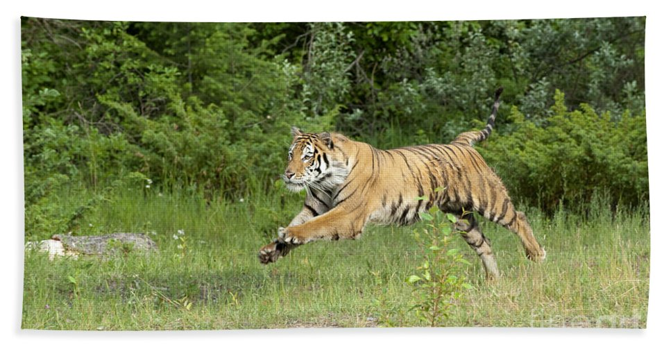 Tiger Hand Towel featuring the photograph The Chase Begins by Sandra Bronstein