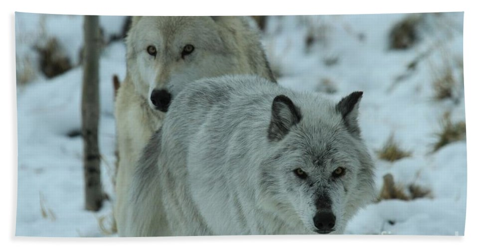 Gray Wolf Hand Towel featuring the photograph The Hunters by Adam Jewell