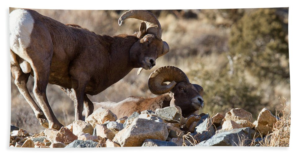 Bighorn Sheepbighorn Sheep Photograph Bath Sheet featuring the photograph The Opposition by Jim Garrison