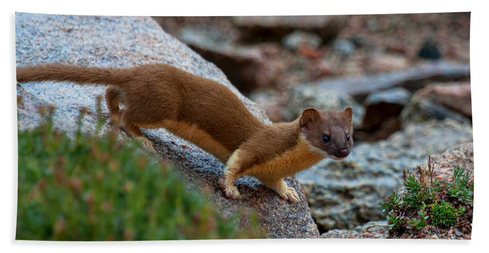 Long Tailed Weasel Photograph Bath Sheet featuring the photograph The Silent Hunter by Jim Garrison