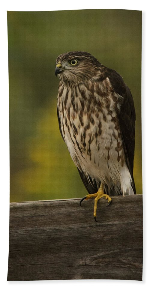 Sharp Shinned Hawk Bath Sheet featuring the photograph The Stare by Susan Capuano