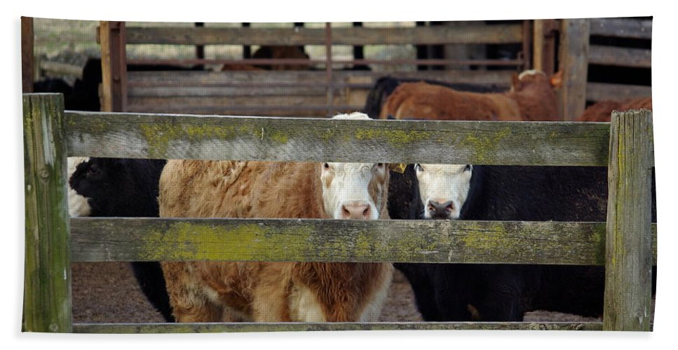 Cow Hand Towel featuring the photograph The Watchers by Cindy Johnston