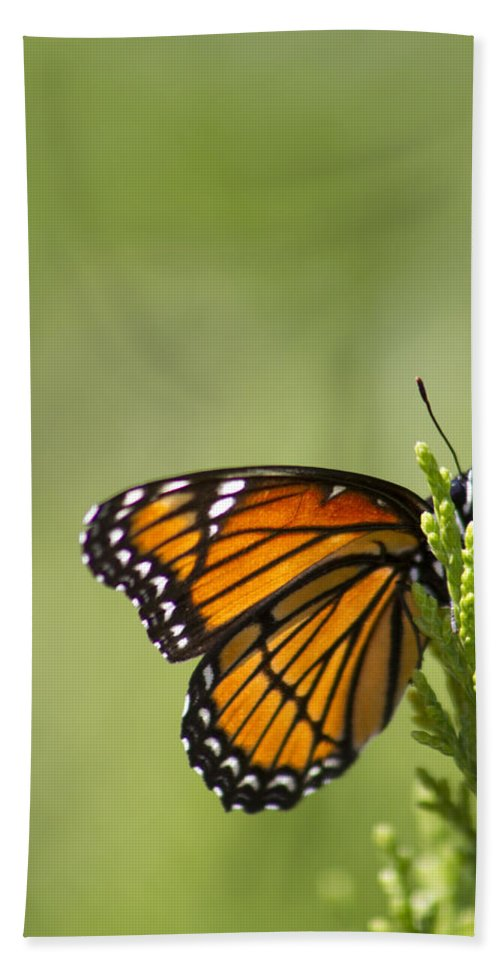 Danaus Plexippus Hand Towel featuring the photograph Those Magnificent Monarchs - Danaus Plexippus by Kathy Clark