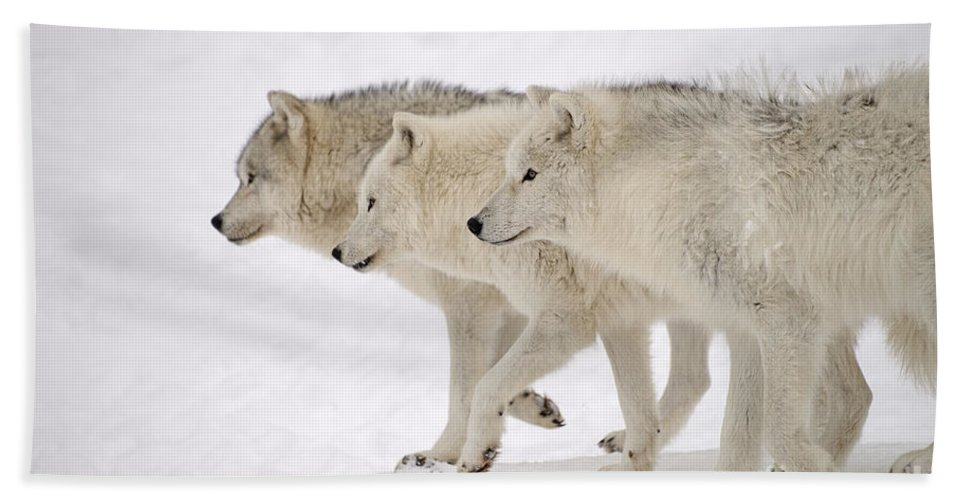 Arctic Wolves Bath Sheet featuring the photograph Three Amigos by Joshua McCullough