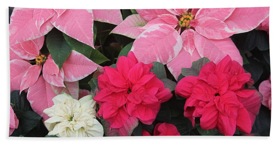 Poinsettia Hand Towel featuring the photograph Three Pink Poinsettias by The Art of Alice Terrill