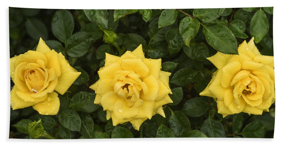 Yellow Roses Bath Sheet featuring the photograph Three Yellow Roses In Rain by Vishwanath Bhat