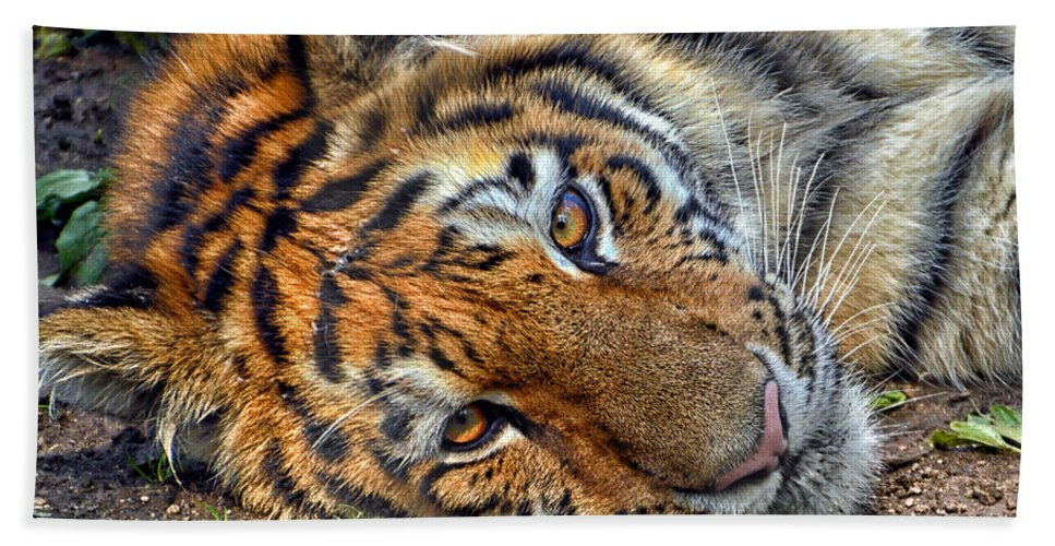 Animals Bath Sheet featuring the photograph Tiger Nap Time by Thomas Woolworth