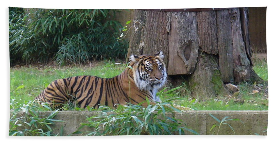 Wild Cat Hand Towel featuring the photograph Tiger Resting by Lingfai Leung