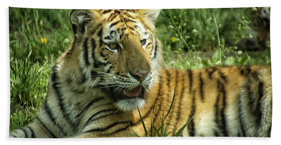 Animals Bath Sheet featuring the photograph Tiger Resting by Thomas Woolworth
