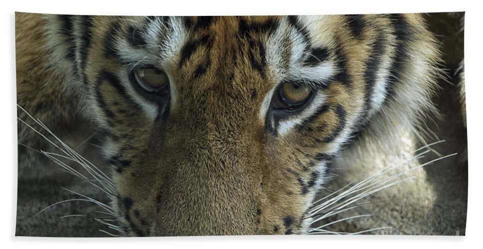 Animals Bath Sheet featuring the photograph Tiger You Looking At Me by Thomas Woolworth