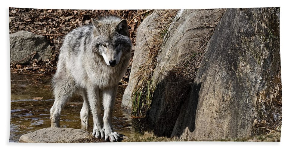 Timber Wolf Photography Bath Sheet featuring the photograph Timber Wolf In Pond by Wolves Only