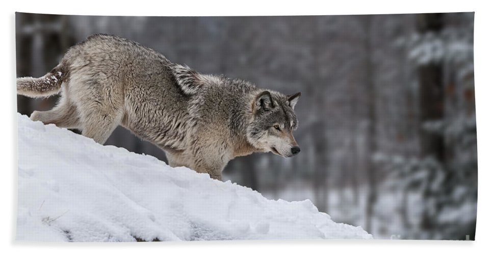 Timber Wolf Photography Bath Sheet featuring the photograph Timber Wolf On Hill by Wolves Only