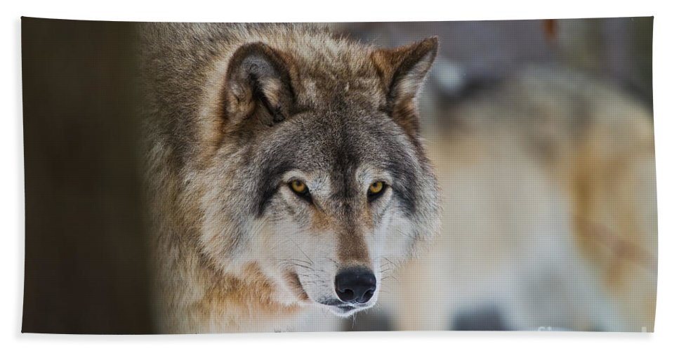 Timber Wolf Hand Towel featuring the photograph Timber Wolf Pictures 259 by Wolves Only