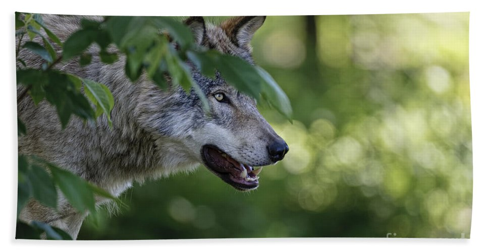 Timber Wolf Hand Towel featuring the photograph Timber Wolf Pictures 259 by World Wildlife Photography