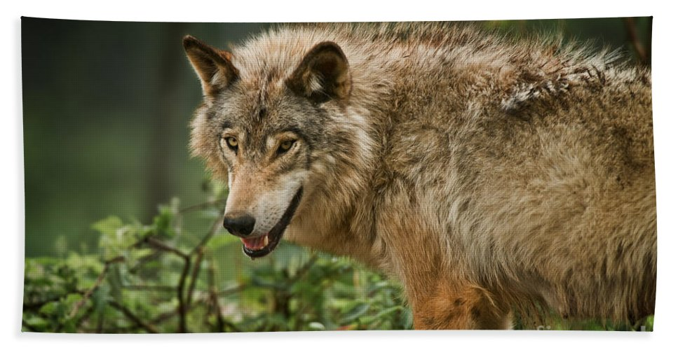 Timber Wolf Hand Towel featuring the photograph Timber Wolf Pictures 262 by Wolves Only