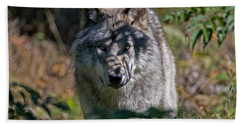 Timber Wolf Hand Towel featuring the photograph Timber Wolf Pictures 405 by World Wildlife Photography
