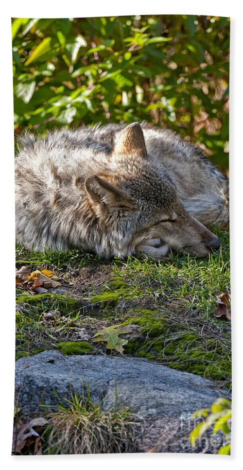 Timber Wolf Hand Towel featuring the photograph Timber Wolf Pictures 42 by World Wildlife Photography