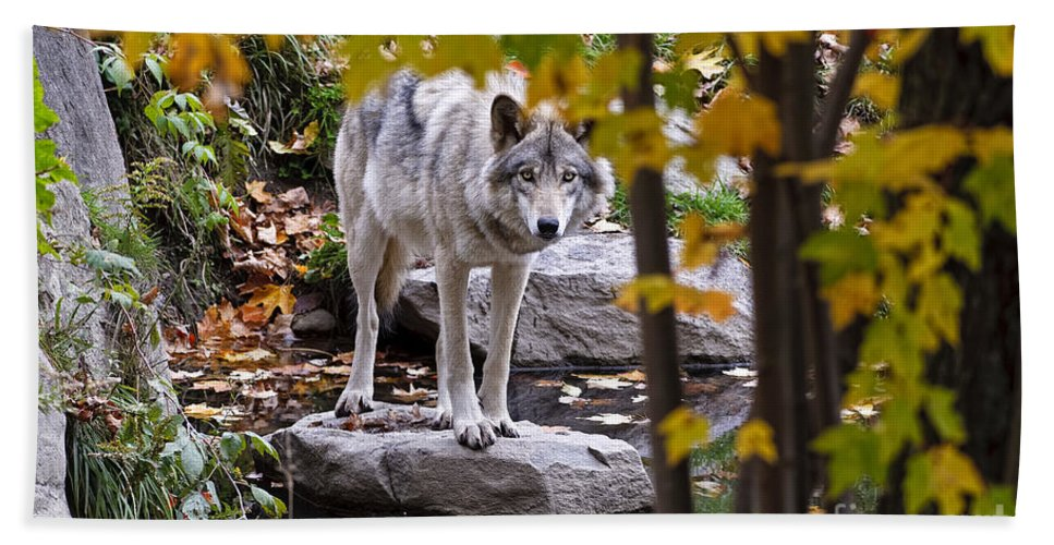 Timber Wolf Hand Towel featuring the photograph Timber Wolf Pictures 444 by World Wildlife Photography