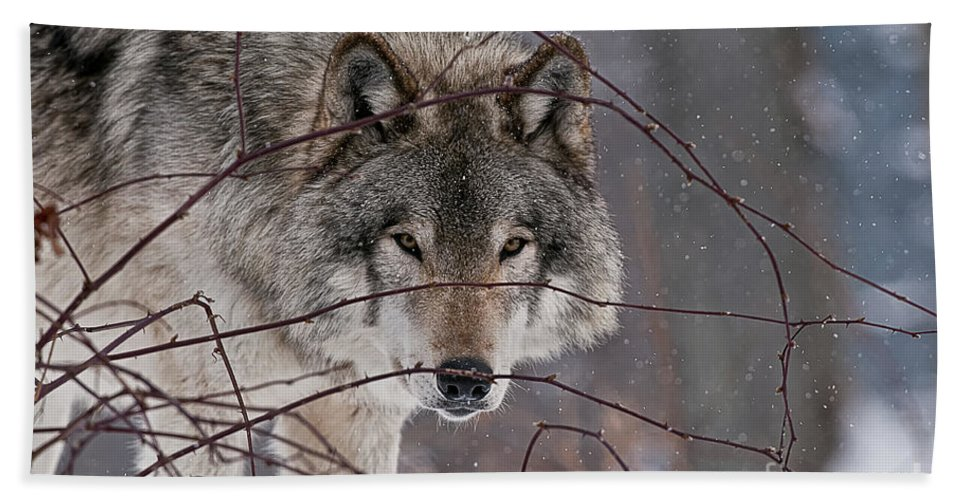 Timber Wolf Hand Towel featuring the photograph Timber Wolf Pictures 620 by World Wildlife Photography