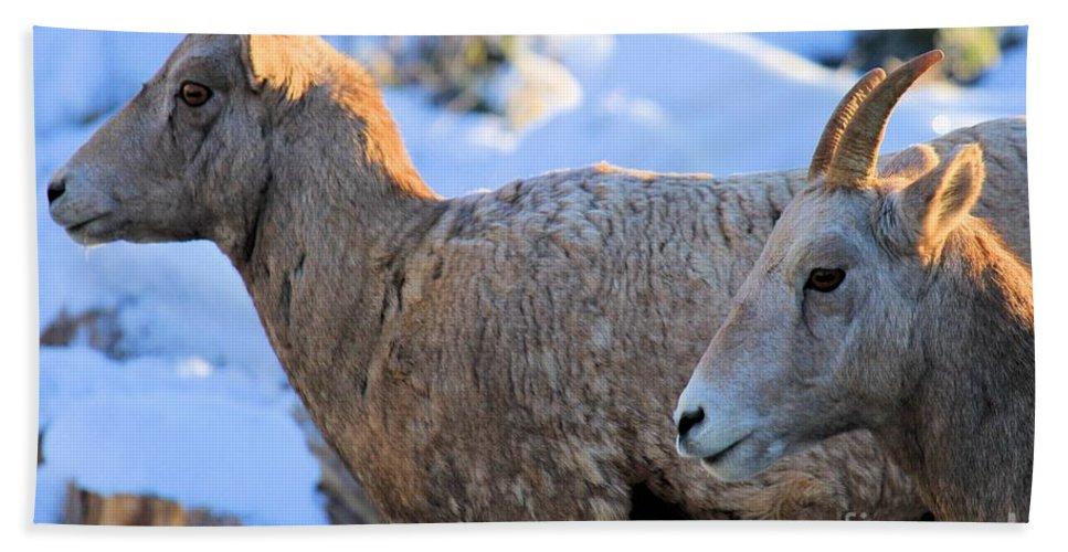 Big Horn Sheep Hand Towel featuring the photograph Too Early by Adam Jewell