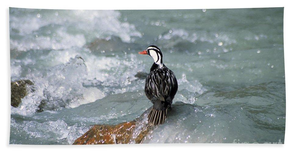 Bird Bath Sheet featuring the photograph Male Torrent Duck by James Brunker