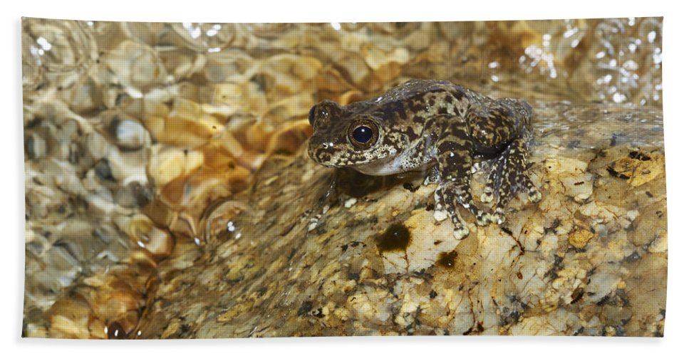 Martin Willis Bath Towel featuring the photograph Torrent Treefrog Aka Waterfall Frog by Martin Willis