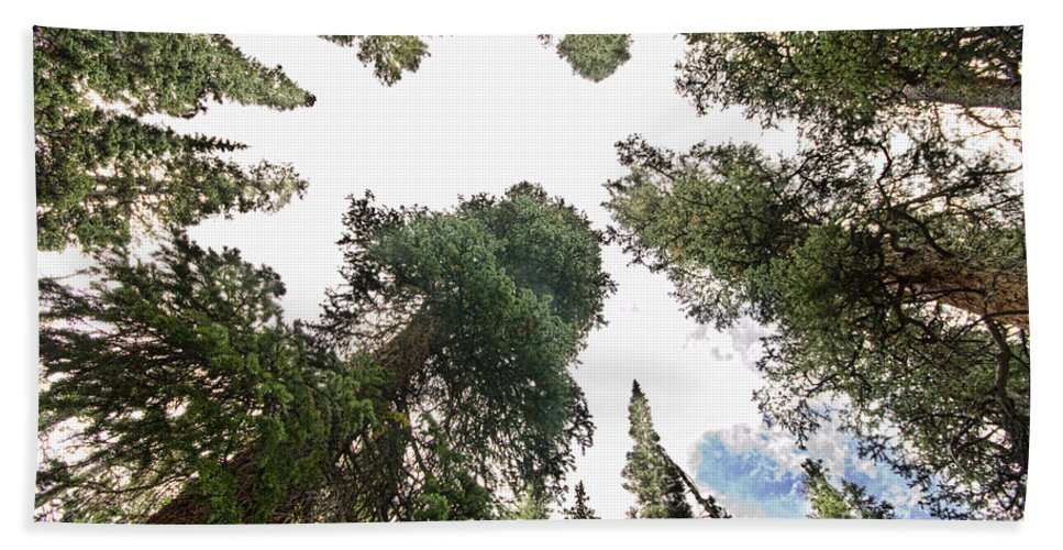 'pine Trees' Bath Sheet featuring the photograph Towering Pine Trees by James BO Insogna